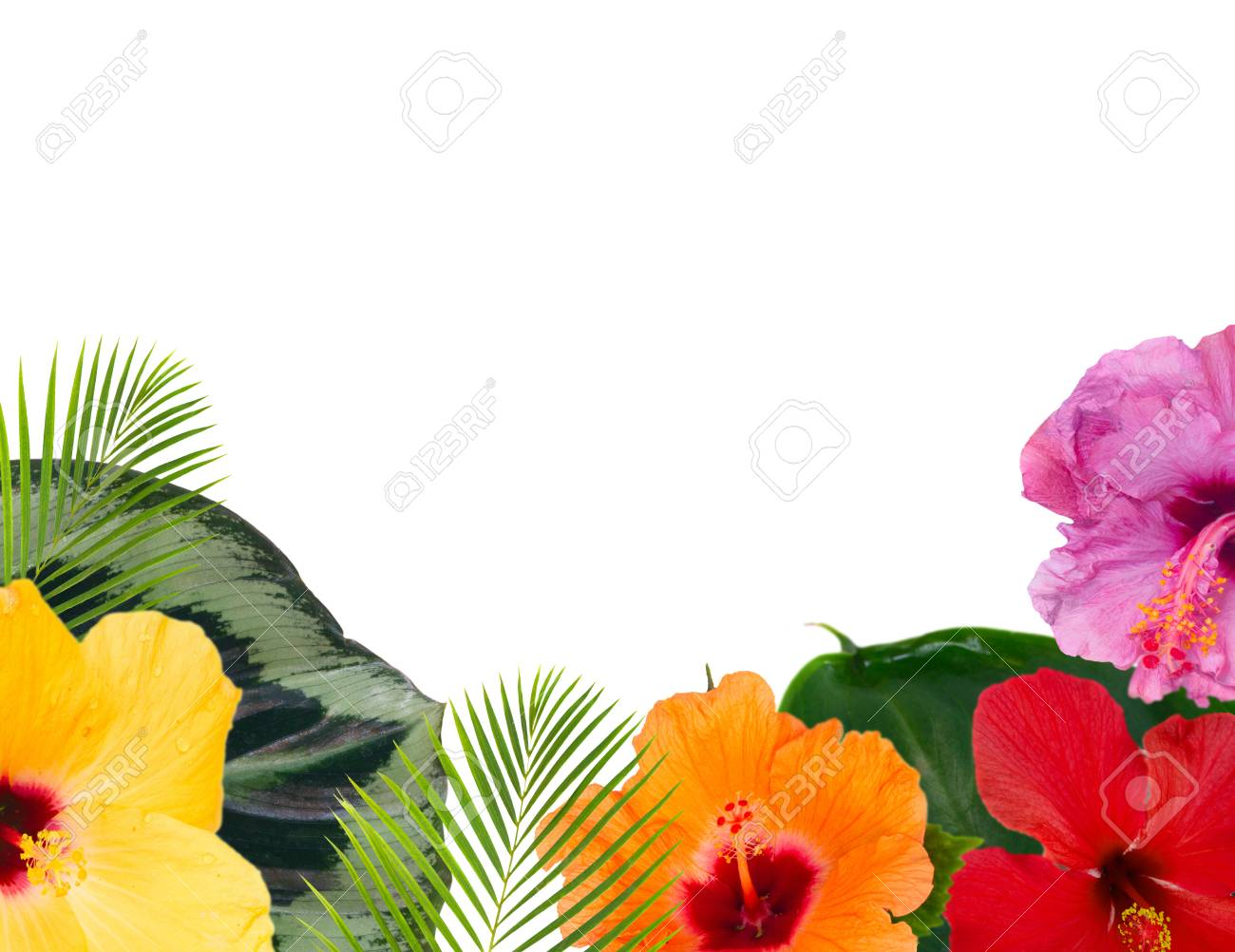 Tropical Flowers And Leaves Frame Of Fresh Multicilored Hibiscus