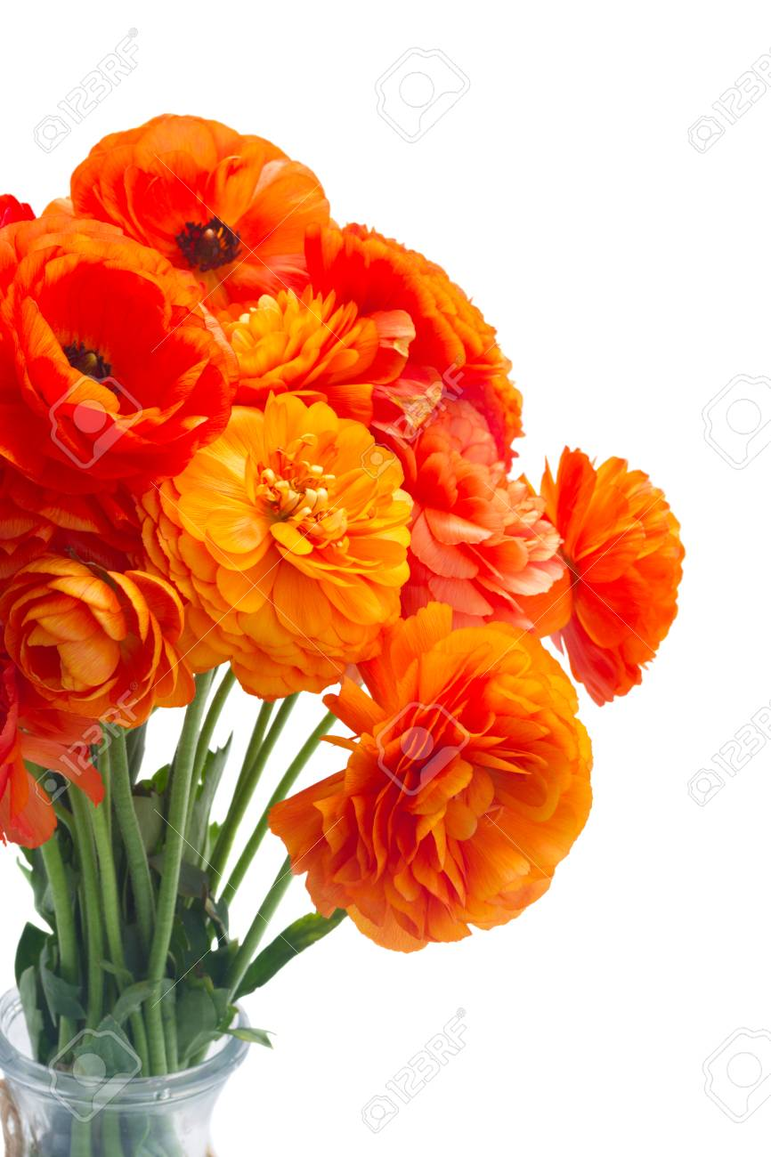 Orange Ranunculus Fresh Blooming Flowers Bouquet Isolated On Stock Photo Picture And Royalty Free Image Image 84341201
