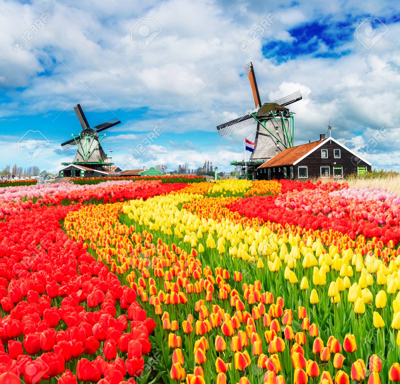 two traditional Dutch windmills of Zaanse Schans and rows of fresh tulips, Netherlands - 88133919