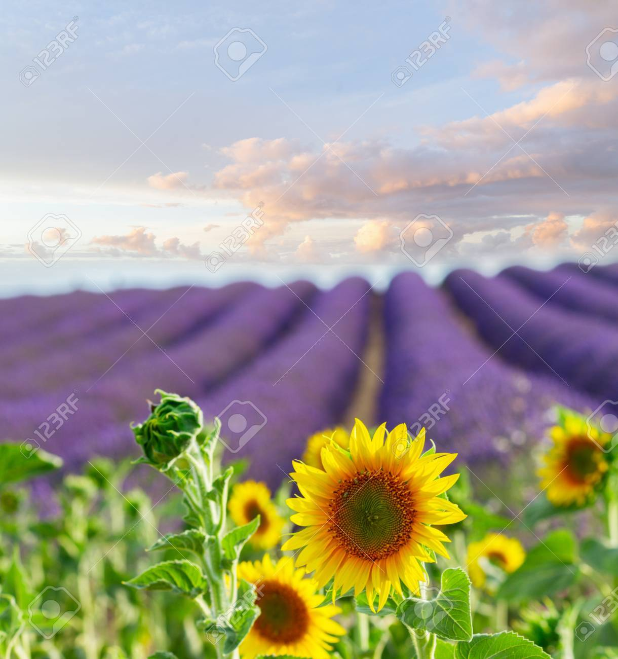 Sunflowers And Rows Of Lavender Flowers Summer Field At Sunrise France Stock Photo
