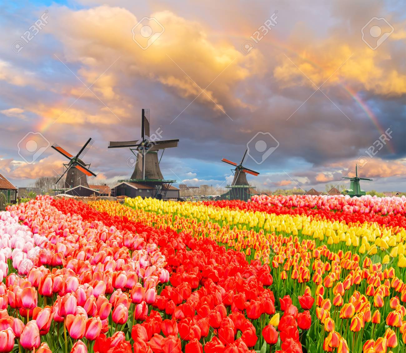 traditional Dutch windmills of Zaanse Schans and rows of tulips under sunset sky with rainbow, Netherlands - 96110889