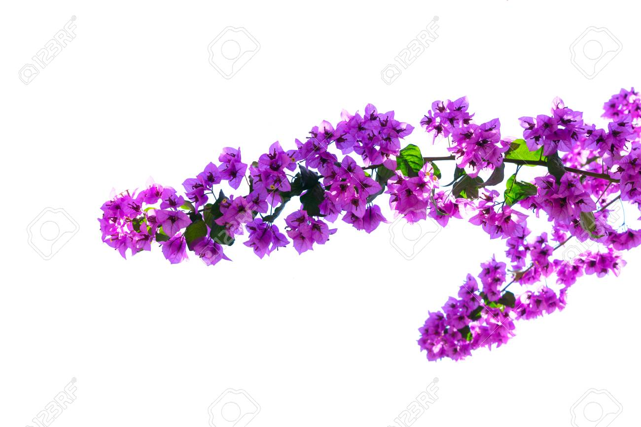 Bougainvillea Branch With Violet Flowers Isolated On White