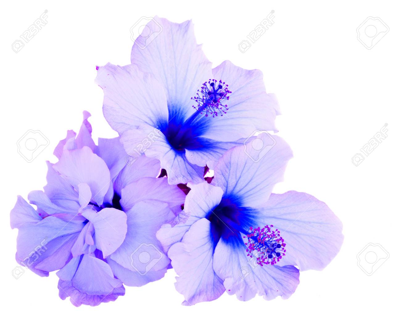 Tropical Flower Pile Of Blue Hibiscus Flowers Isolated On White