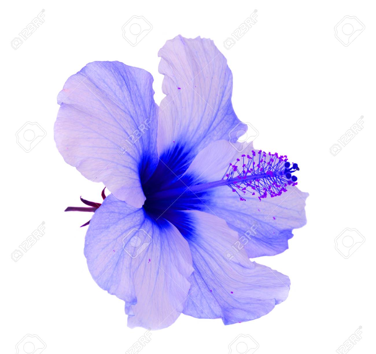 Tropical Flower Blue Hibiscus Flowers Isolated On White Background