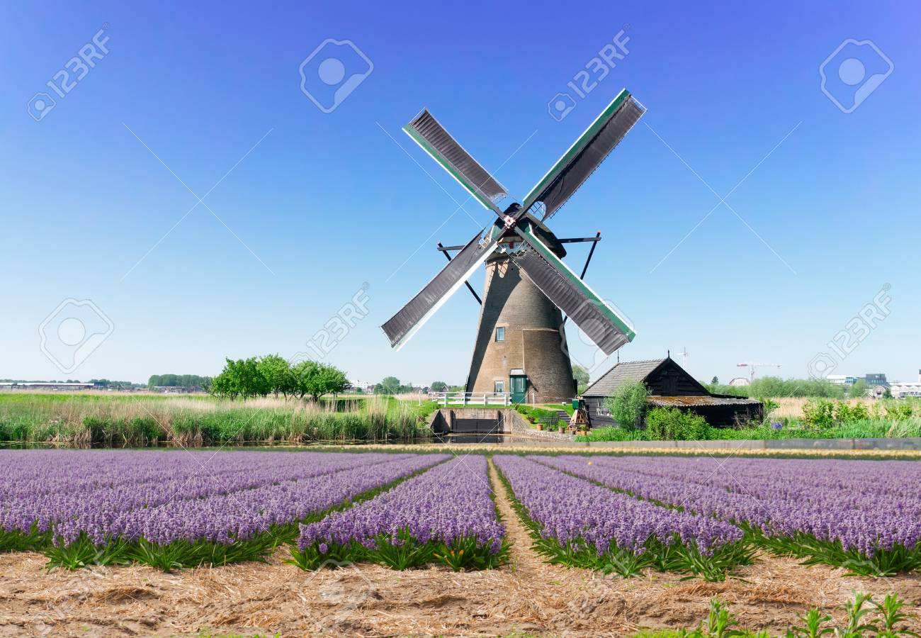 landscape with traditional Dutch windmill with traditional hyacinth filed, Netherlands - 101231340