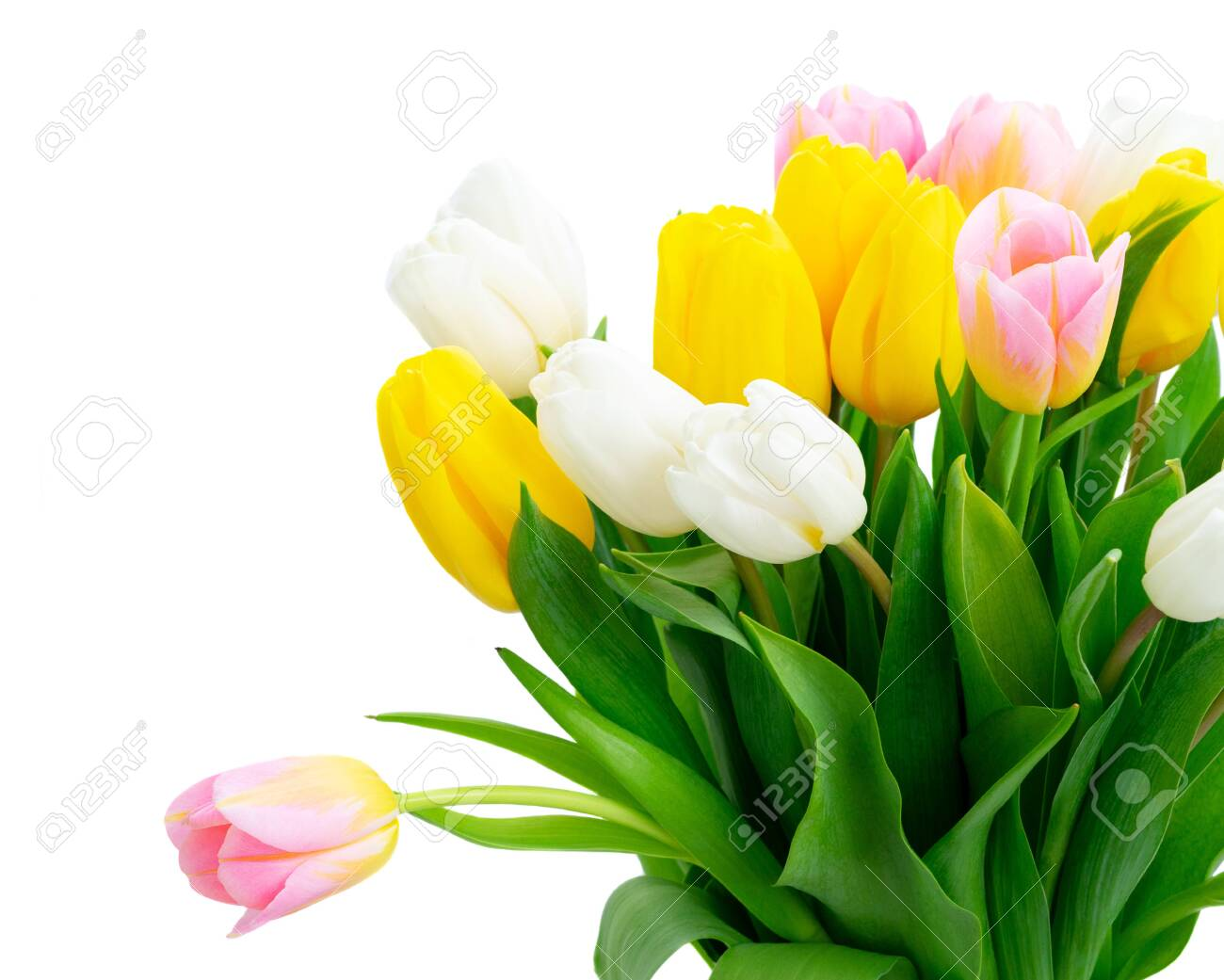 Pink, yellow and white fresh tulip flowers and green leaves close up isolated on white background - 121439166