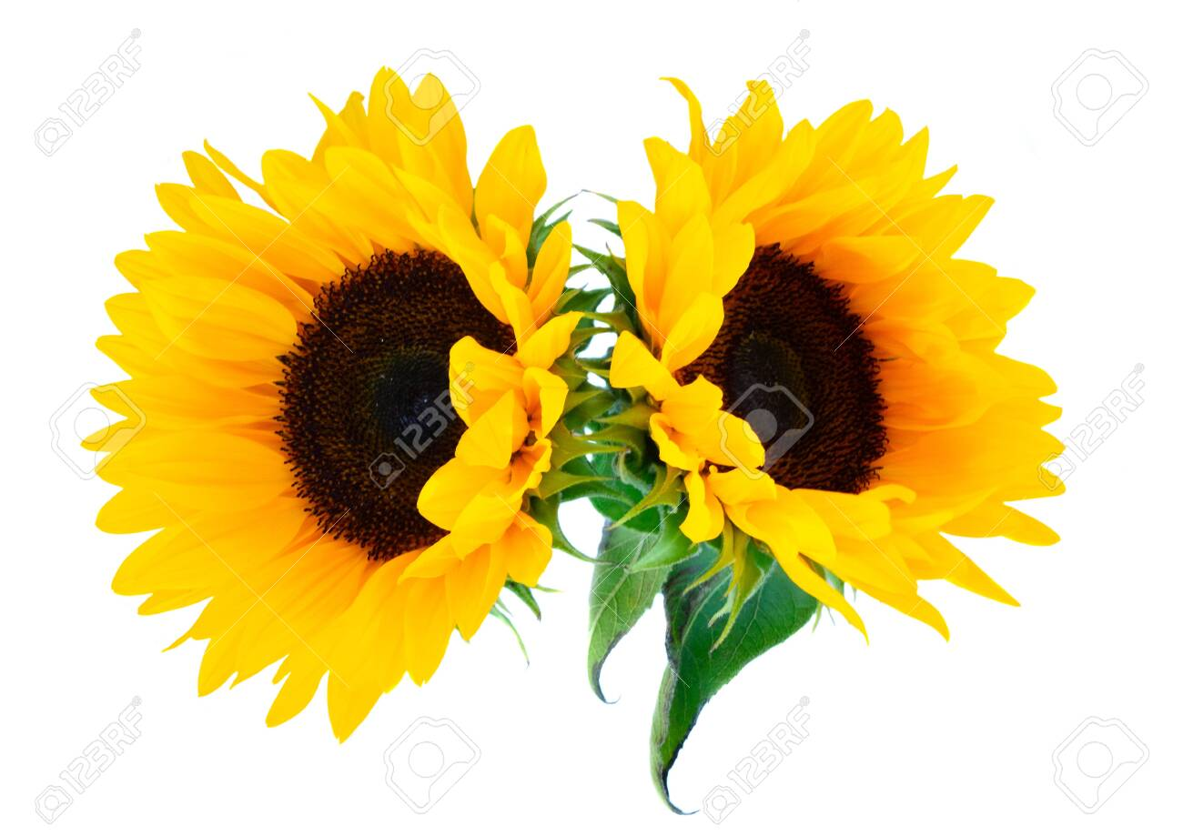 Sunflowers fresh flowers two heads isoltaed on white background - 121872330