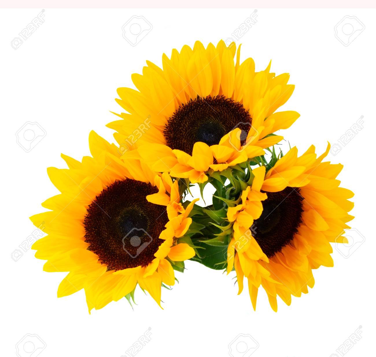 Sunflowers fresh flowers three heads isolated on white background - 122631328