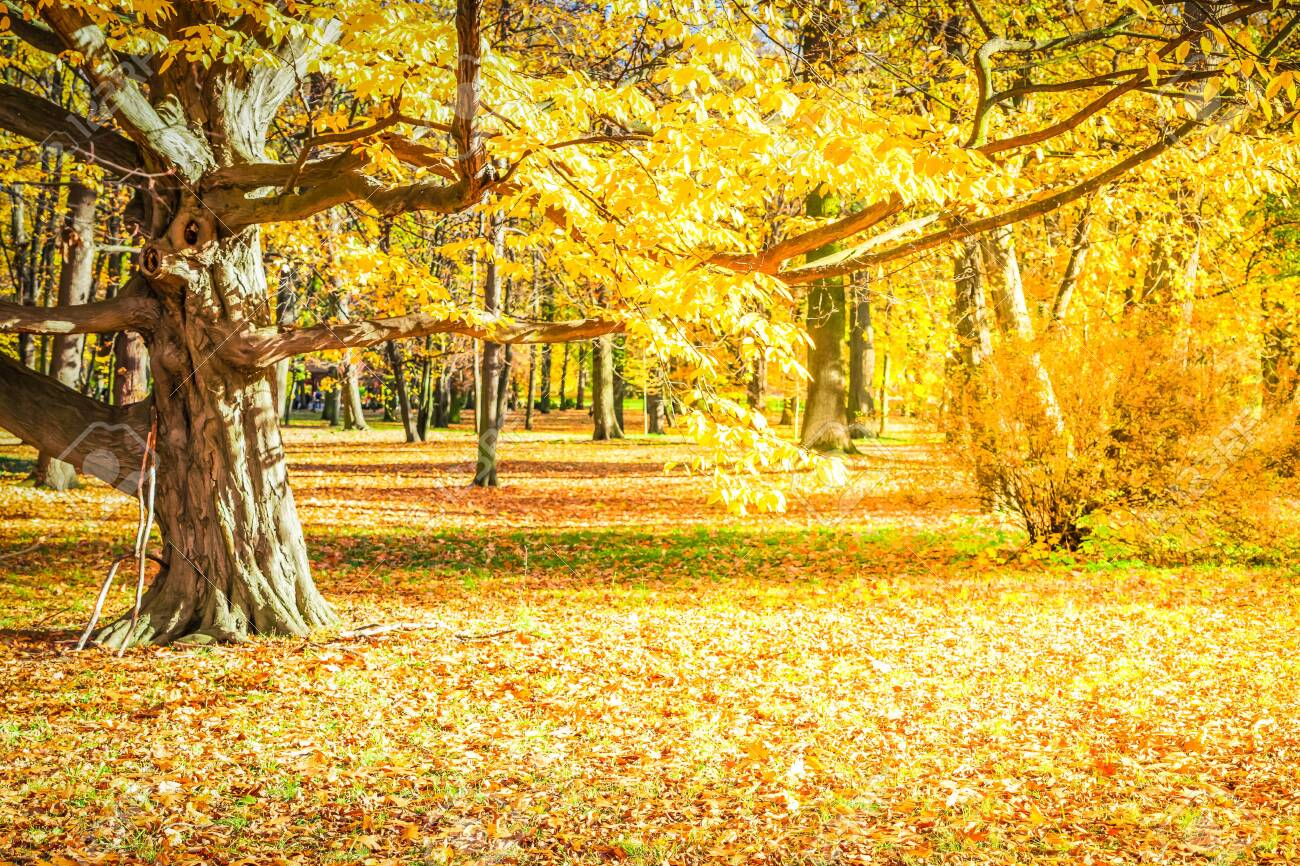 fall forest landscape with yellow trees and fallen leaves on the ground, fall seasonal background, retro toned - 128450212