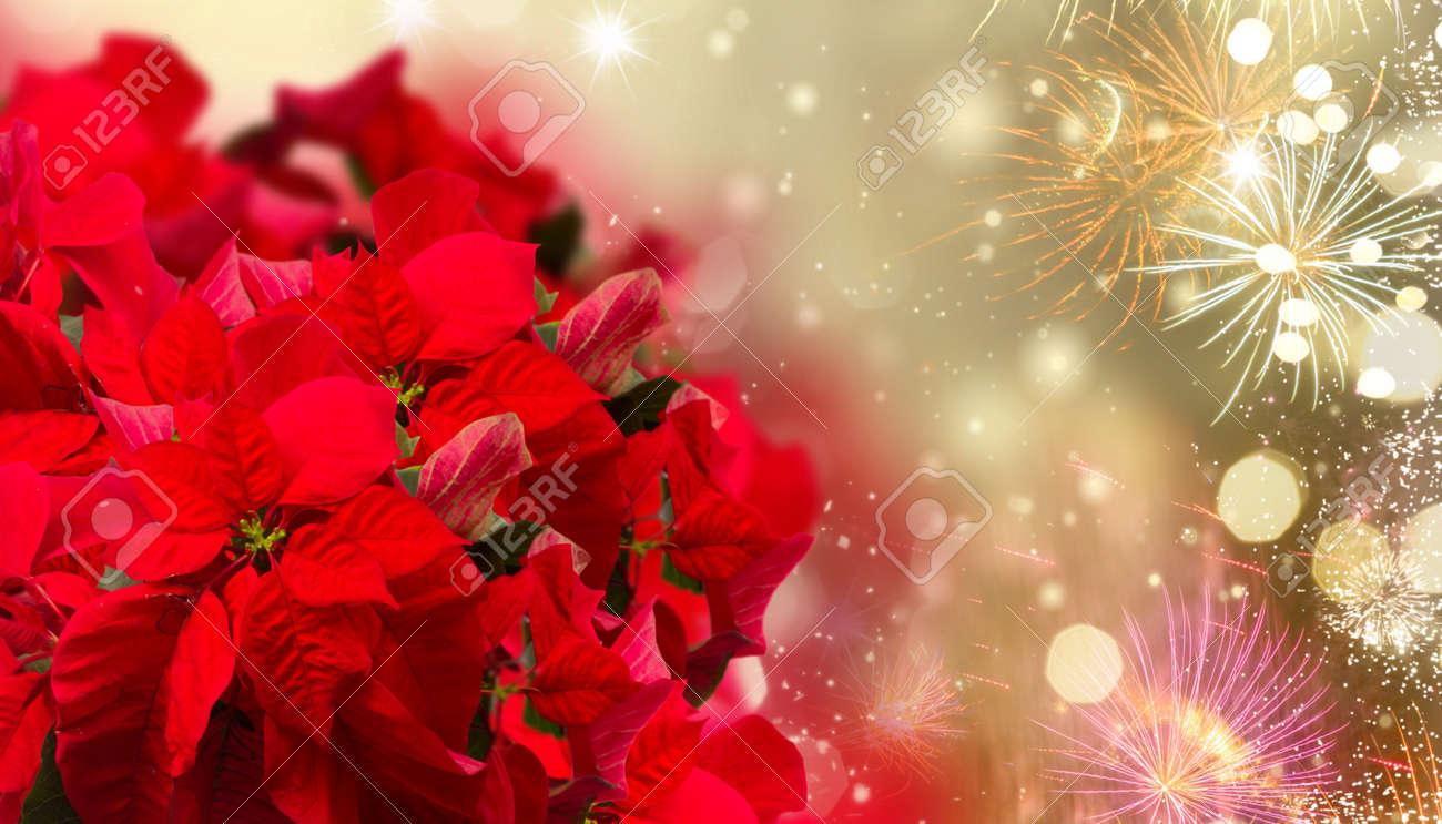 scarlet poinsettia flower or christmas star on festive background with fireworks - 134333741