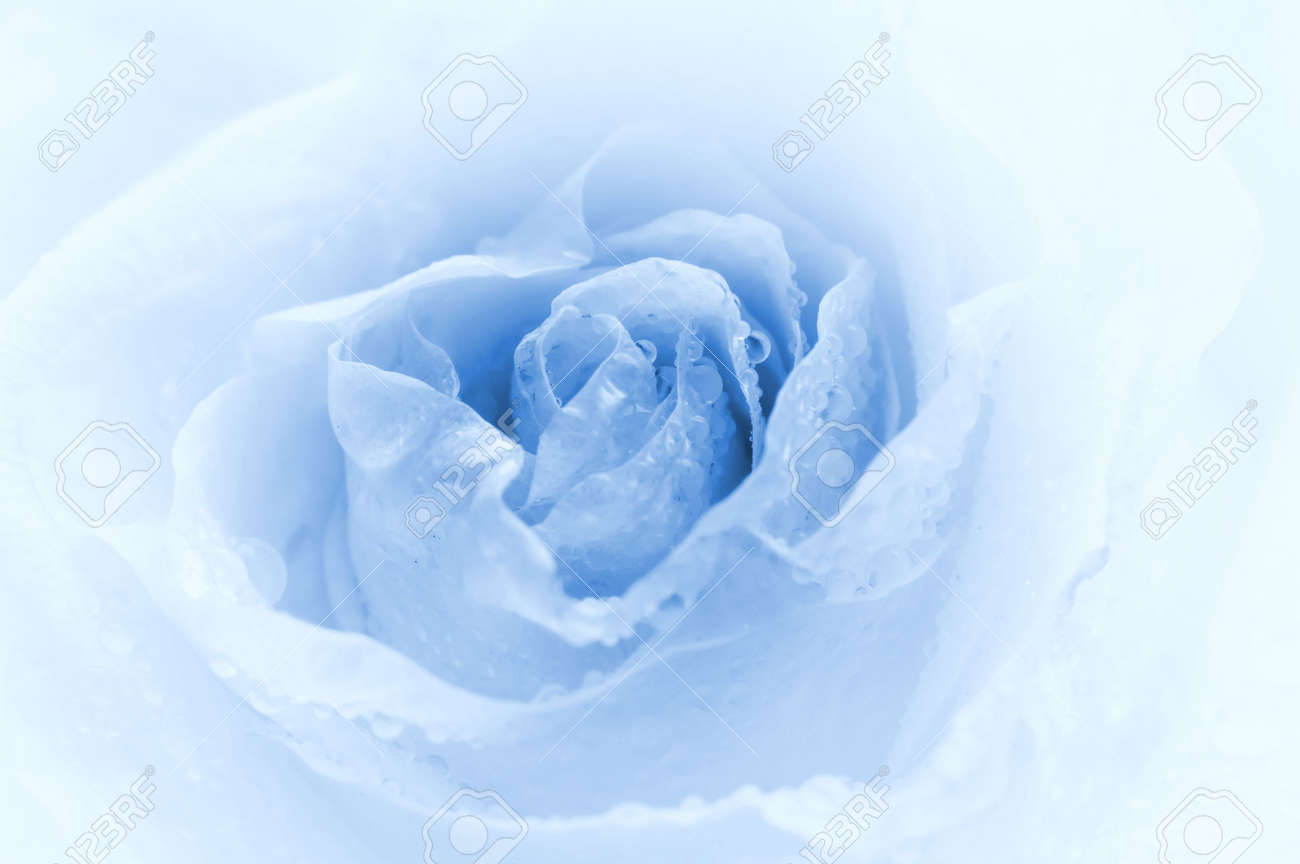 Close-up shot of a rose bud with water drops on petals (toned in blue) Stock Photo - 2262003