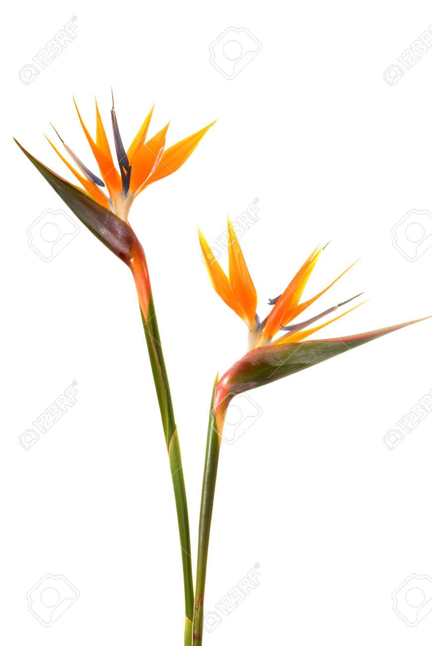 Bird Of Paradise Flower Strelitzia Reginae Isolated On White