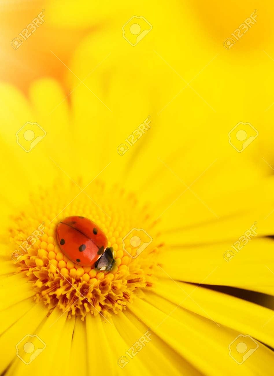 Small ladybug sleeping on yellow flower's petals Stock Photo - 4843605