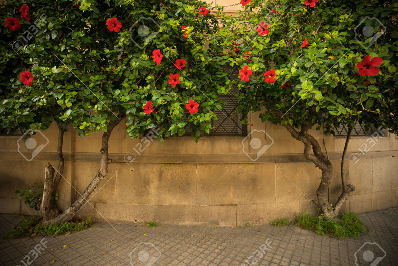Tree With Beautiful Red Flowers Growing Against Building Facade
