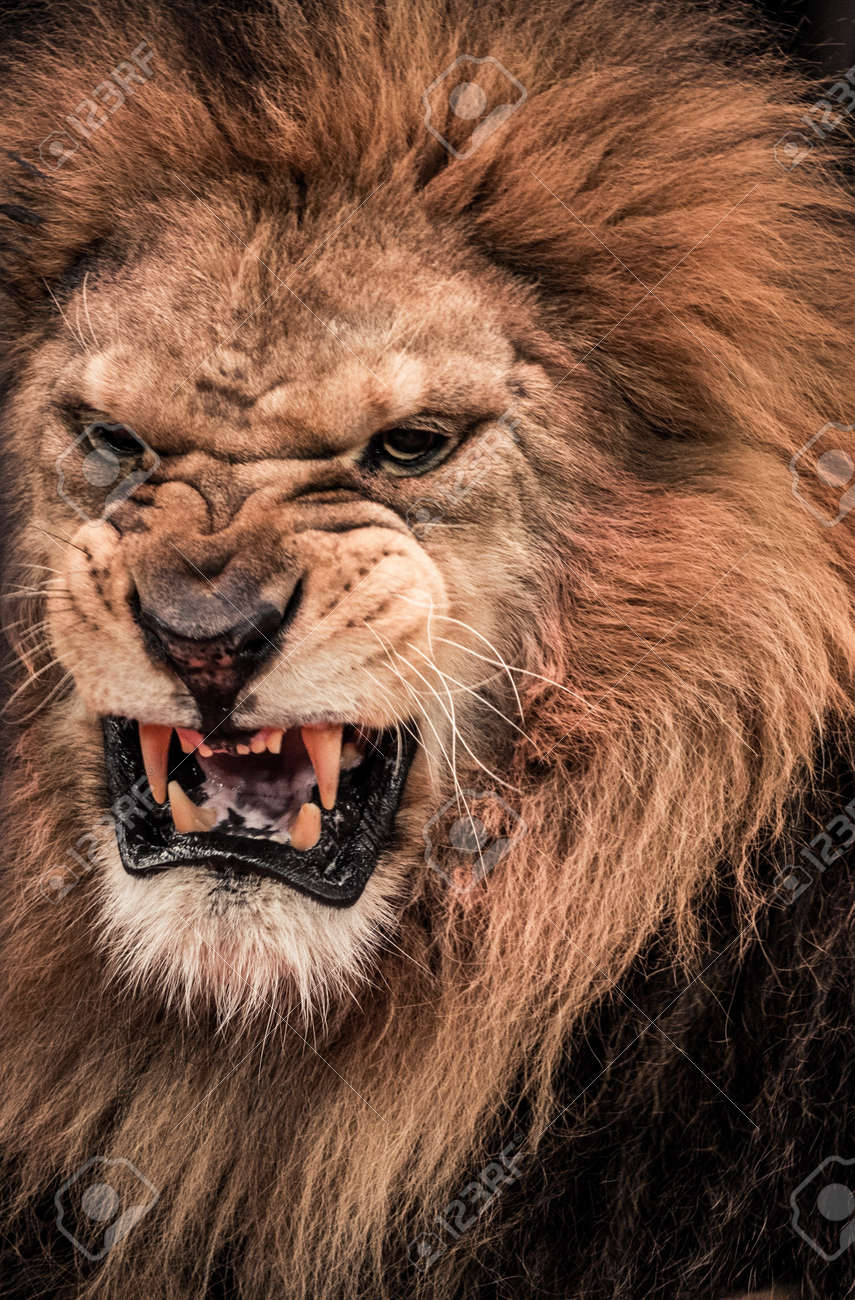close up shot of roaring lion stock photo picture and royalty free