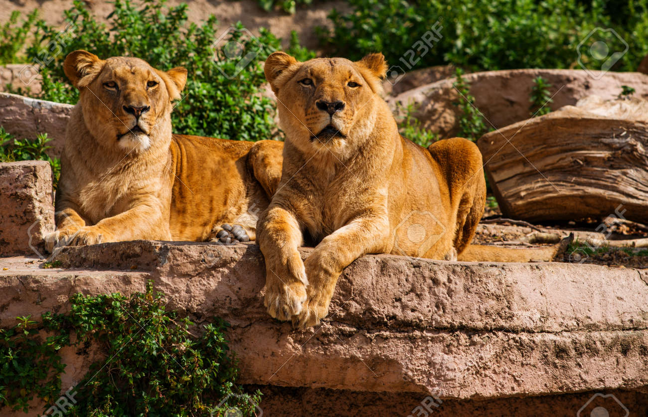 Tow gorgeous lioness in natural habitat Stock Photo - 18896117