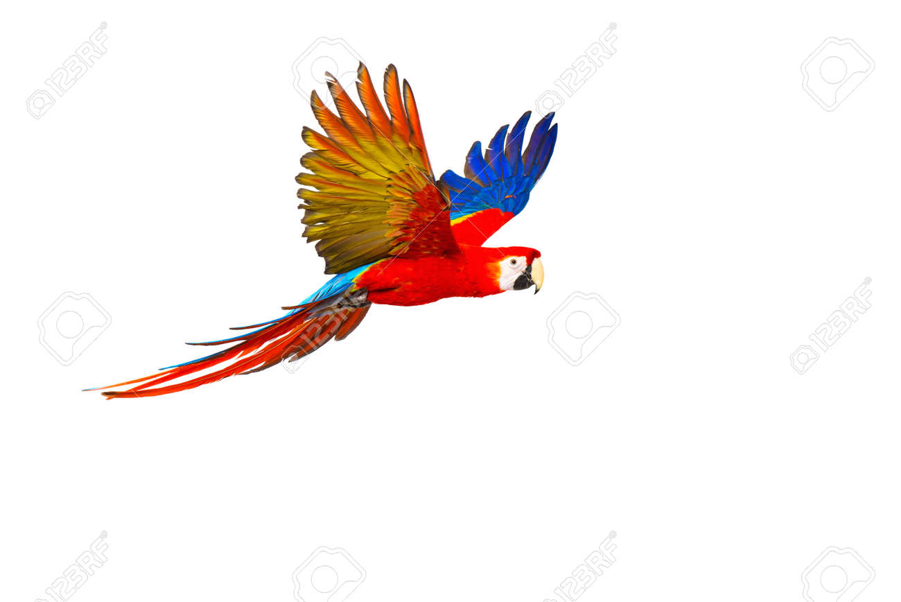 parrot images u0026 stock pictures royalty free parrot photos and