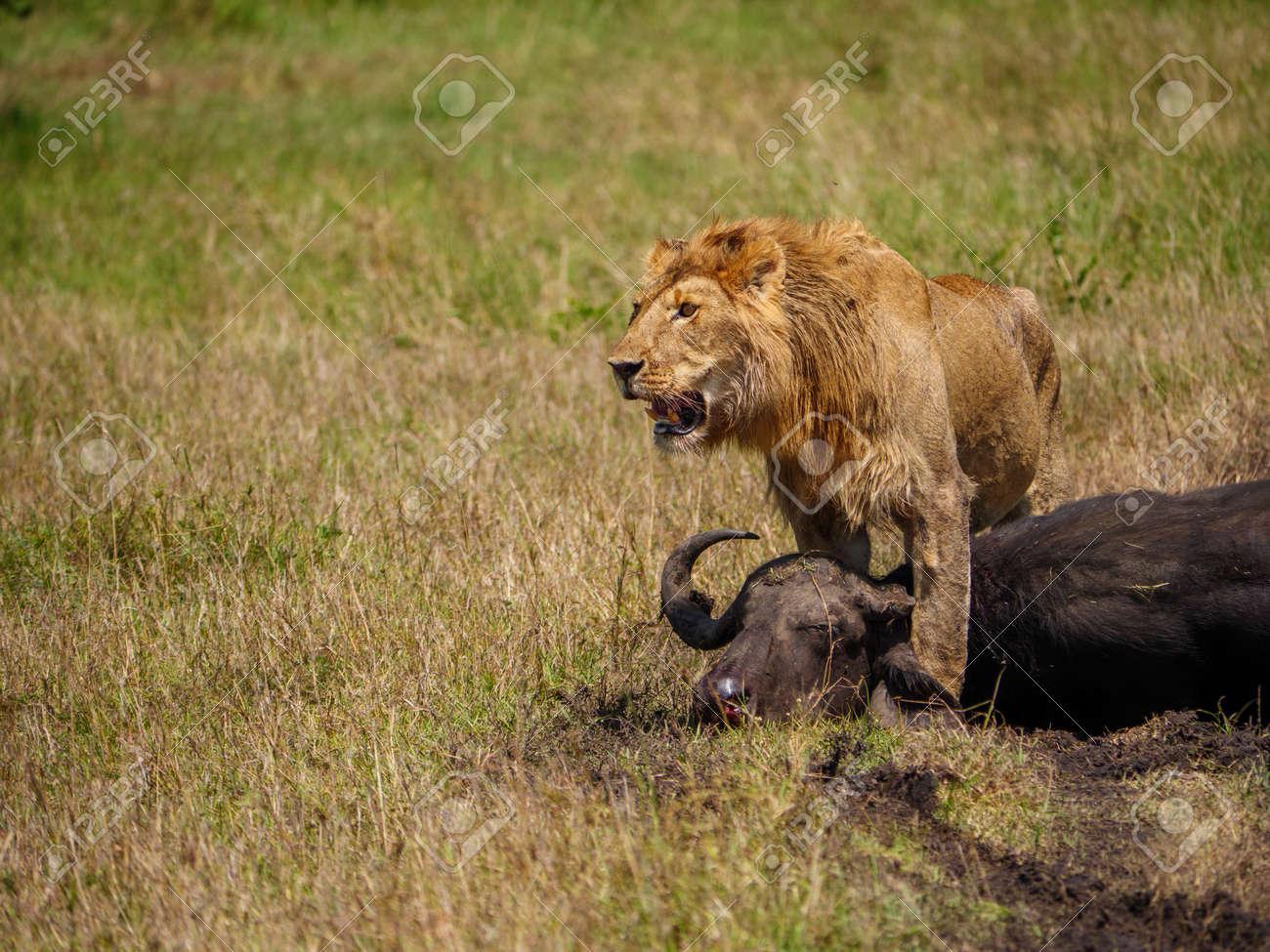 African lion near dead cape buffalo in Kenya - 117419998
