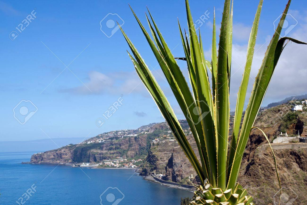 Aloe en face de l'océan Atlantique (Madère) Banque d'images - 17771746