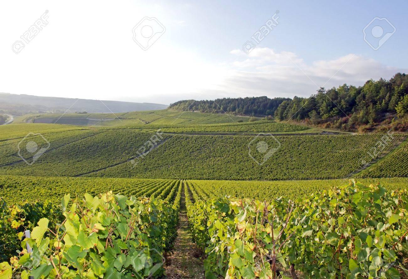 Vignoble de Chablis, vignes près de Auxerre, Bourgogne France Banque d'images - 23708644
