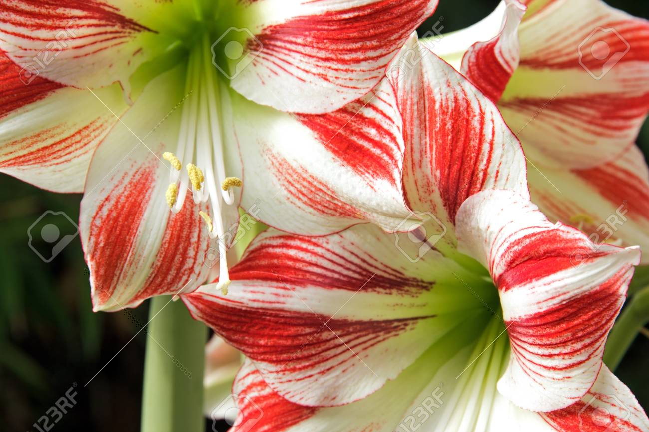 amaryllis s pistil, in the heart of the flower stock photo, Beautiful flower