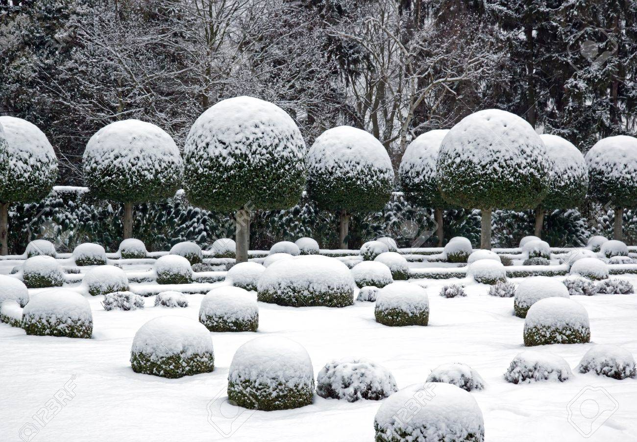 a garden in winter boxwood and yew trees in the snow stock photo