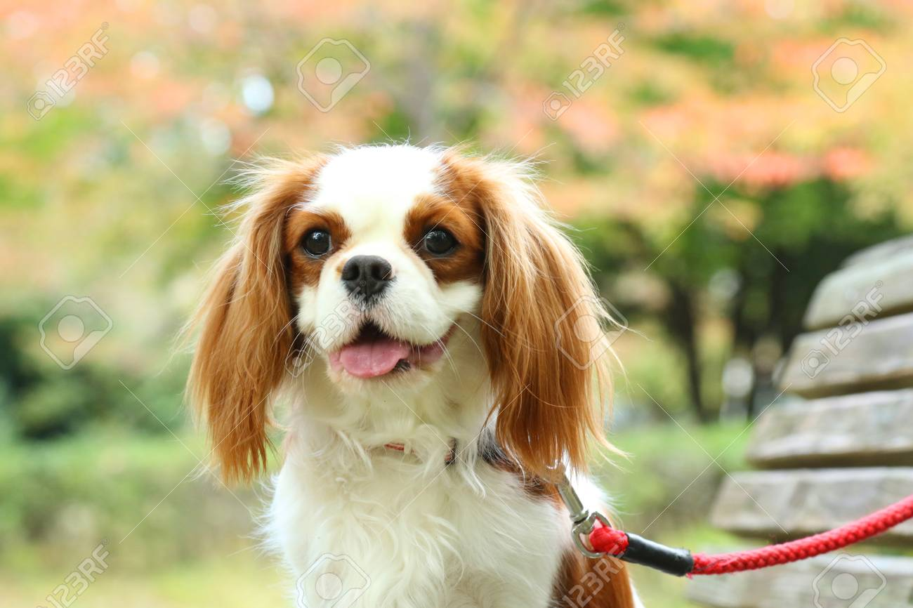 Download Cavalier Brown Adorable Dog - 89479590-young-brown-cute-cavalier  Pictures_92237  .jpg