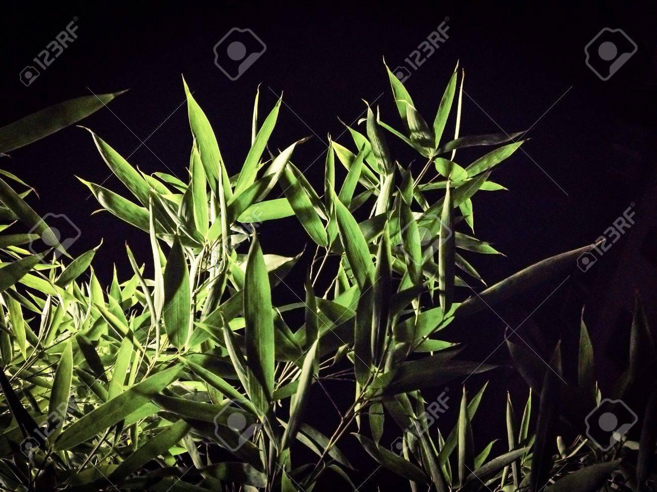 Grun Bambus Busch Im Winter In Der Nacht Lizenzfreie Fotos Bilder