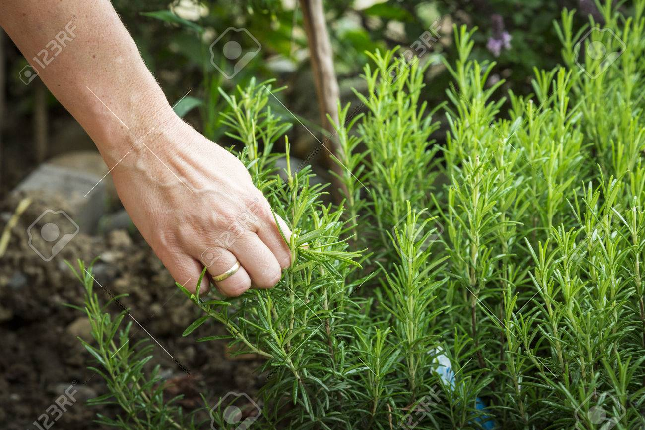 female hand picking rosemary plant for cooking - 30593937