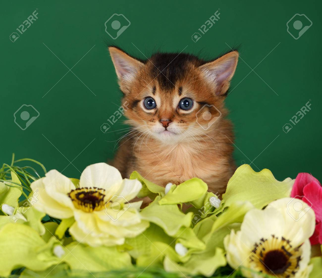 Cute Somali Kitten On The Green Background With Flowers Stock Photo ...