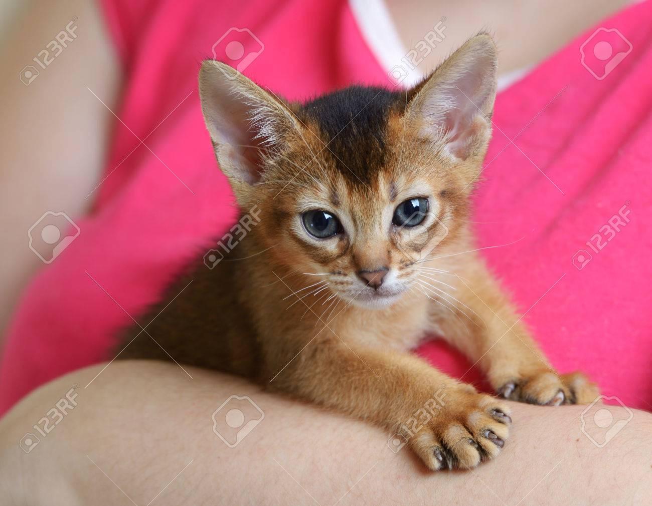 Portrait A Cute Abyssinian Kitten In Female Hands Stock