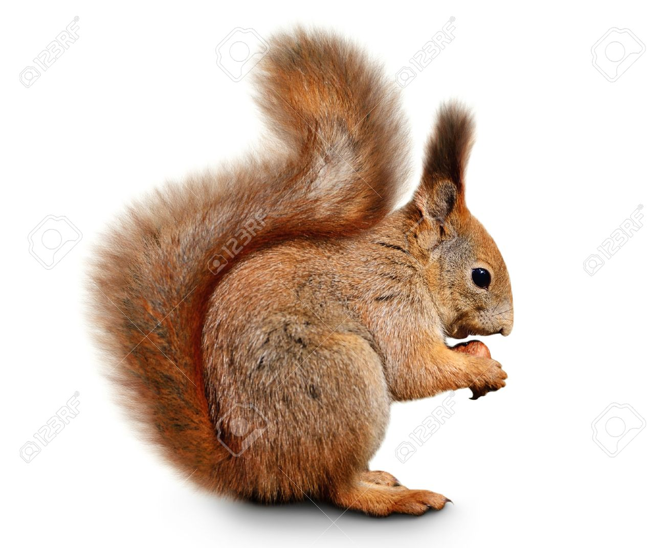 squirrel images u0026 stock pictures royalty free squirrel photos and