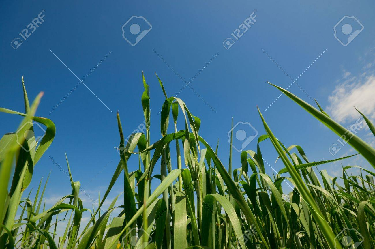 View of a green cornfield in the spring Stock Photo - 4669940
