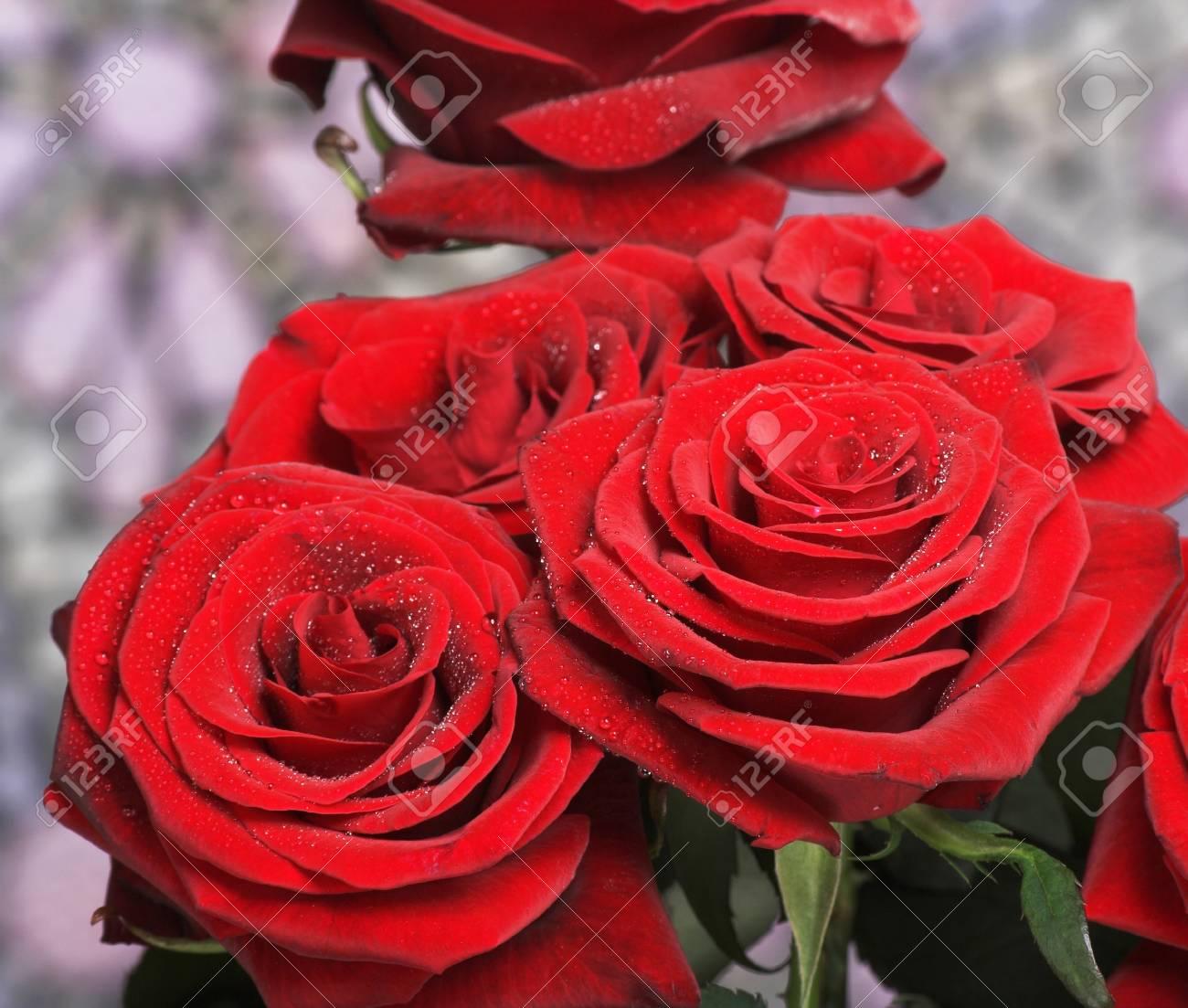 Hermosas Flores Rosas Rojas Frescas Con Gotas De Rocío Fotos