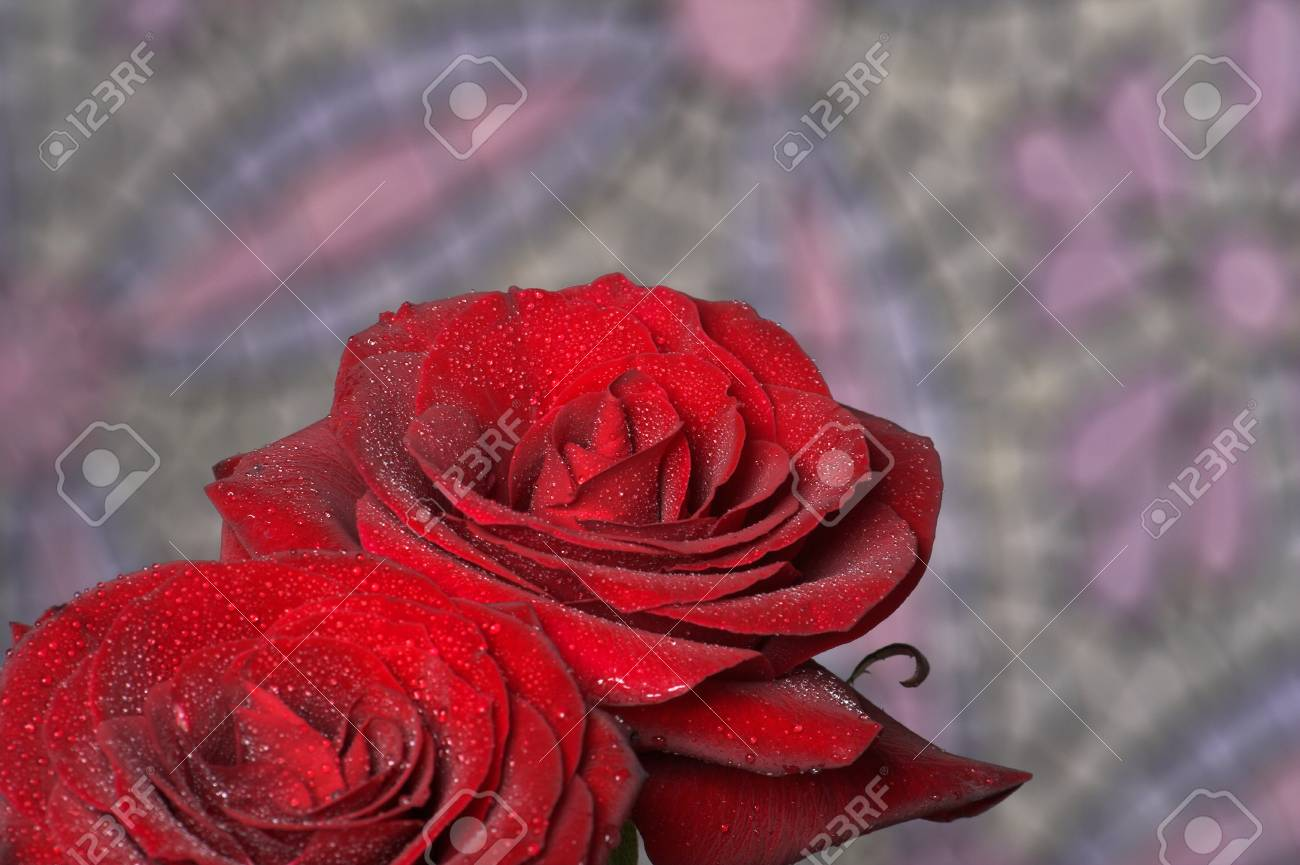 Beautiful flowers fresh red roses with drops of dew stock photo beautiful flowers fresh red roses with drops of dew stock photo 26069780 izmirmasajfo