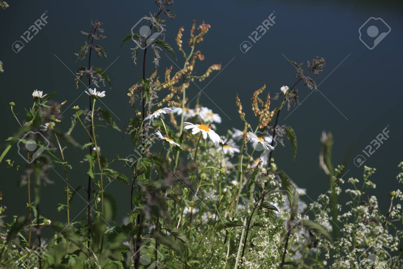 Daisies In Shore Of Swamp In A Sunny Day Stock Photo Picture And