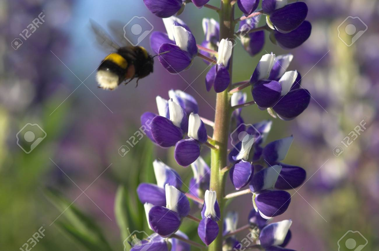Lupin and Bumblebee Stock Photo - 3180180