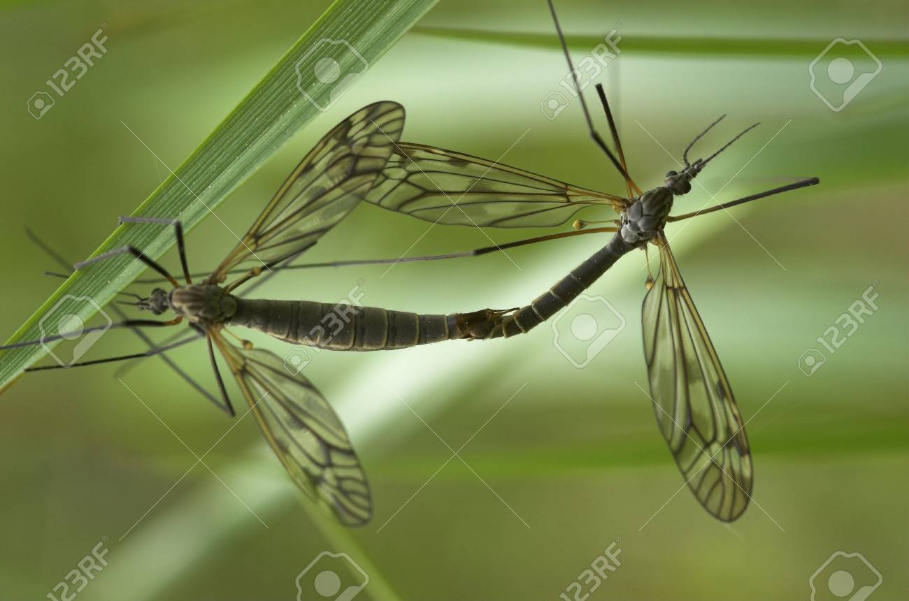 Two mating craneflies with the focus on the smaller male insect Stock Photo - 3263634