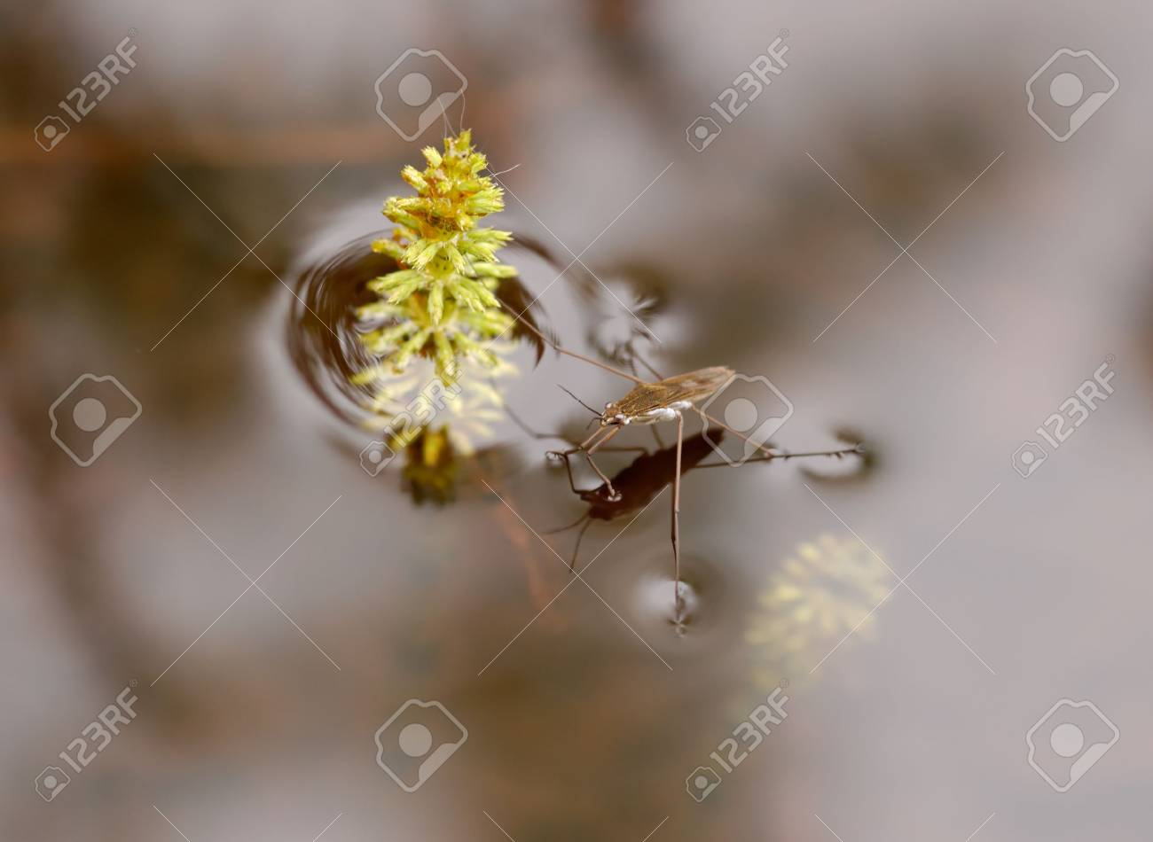A waterstrider, which parked itself by the tip of a horsetail plant. Stock Photo - 3263560