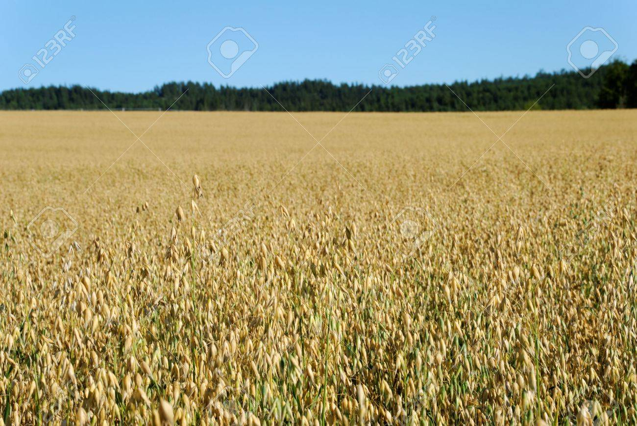 Horizontal image of an oats field with a forest and sky in the background Stock Photo - 3470234