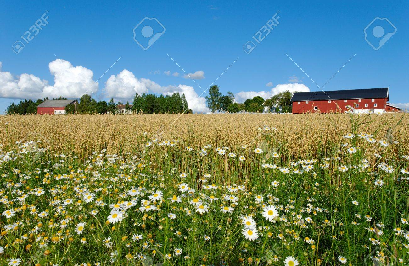 Daisies by the side of an oats field with a Norwegian farm in the background. Stock Photo - 3470239
