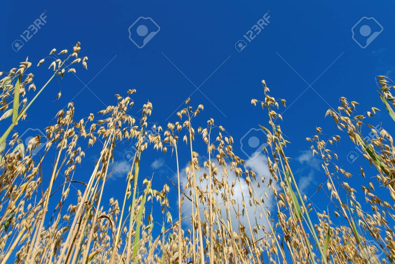 Low angle view of oat straws against deep blue sky and a puffy cloud, lit by evening sun. Stock Photo - 3470233
