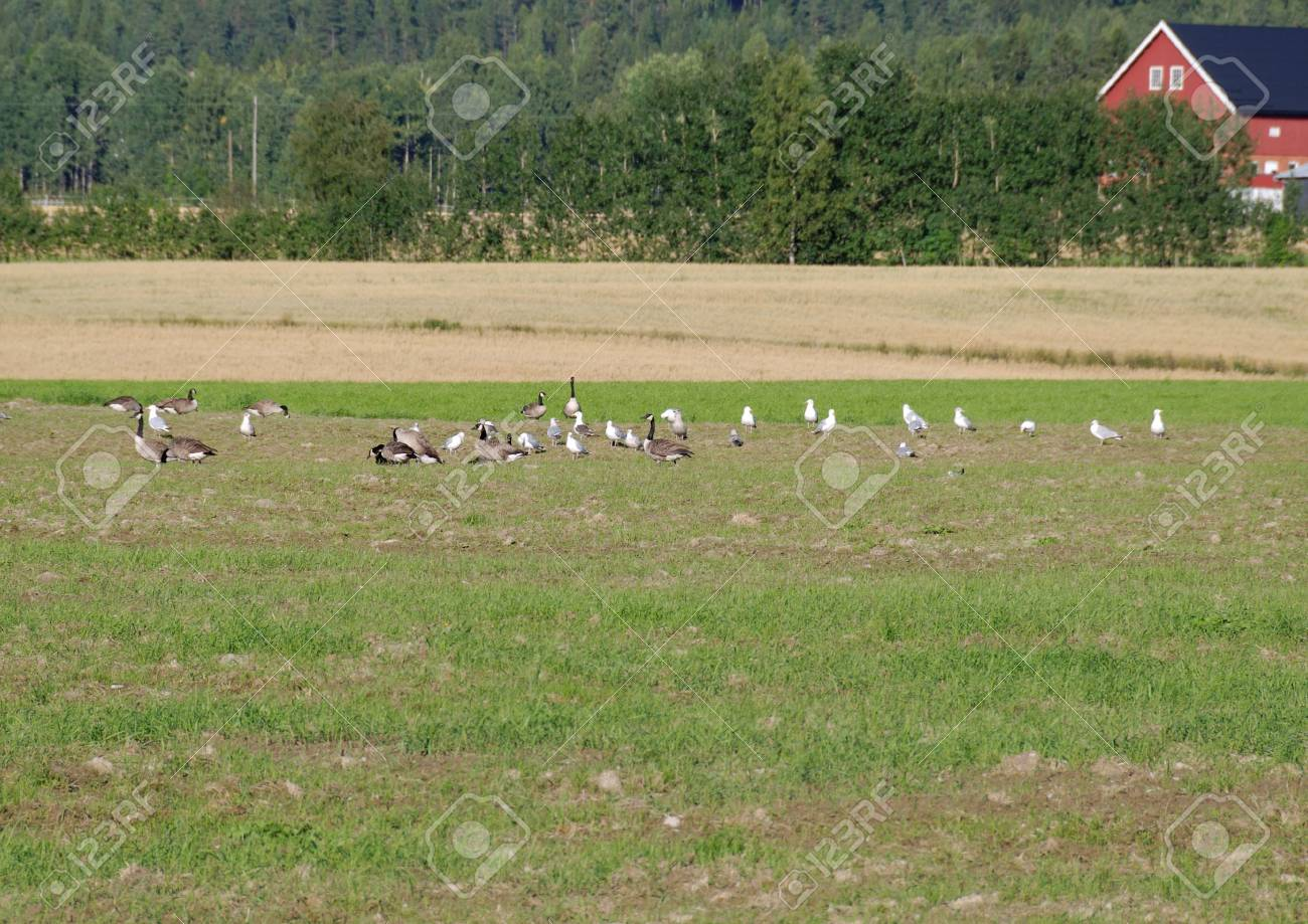 Canadian geese and seagulls feeding on a field. Stock Photo - 3470231