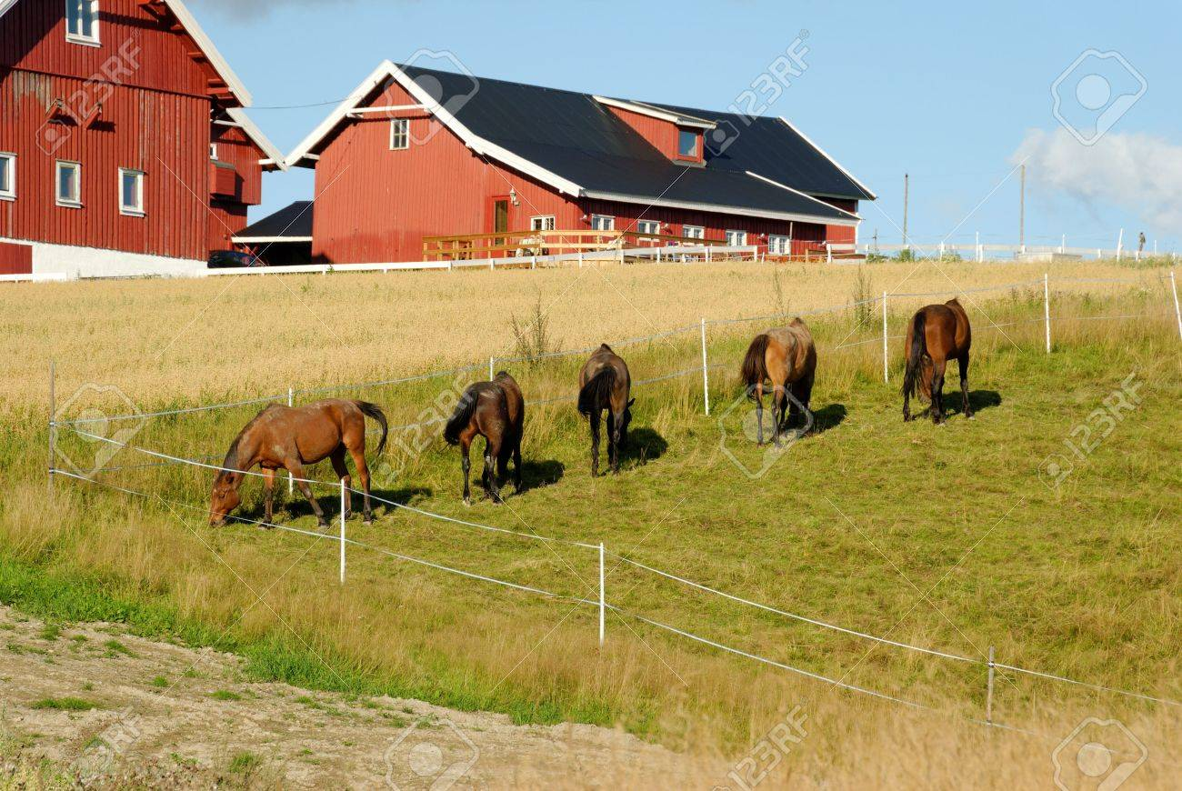 Five horses, grazing in a fold by a farm with an oats field. Stock Photo - 3470237