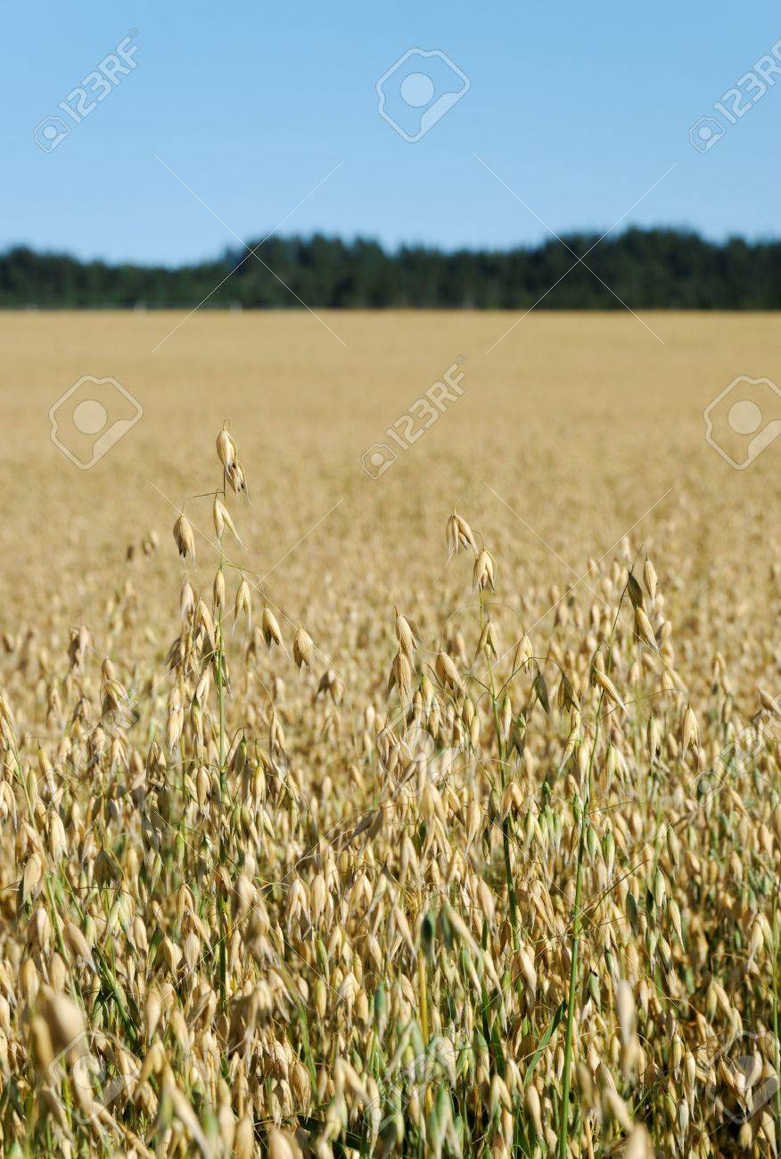 Vertical image of an oats field with a forest and sky in the background Stock Photo - 3478049