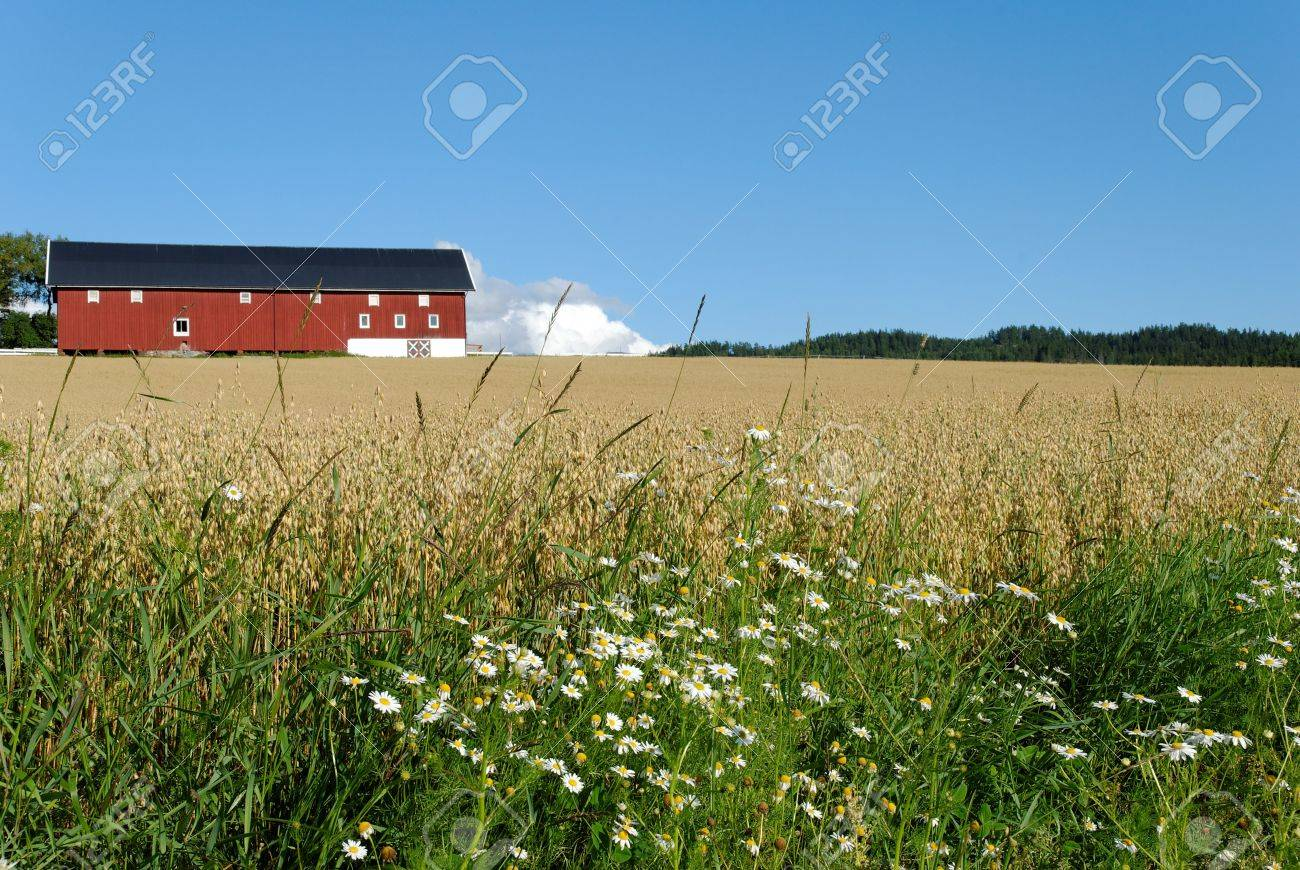 Daisies by the side of an oats field with a red barn in the background. Typical Norwegian scene. Stock Photo - 3478053