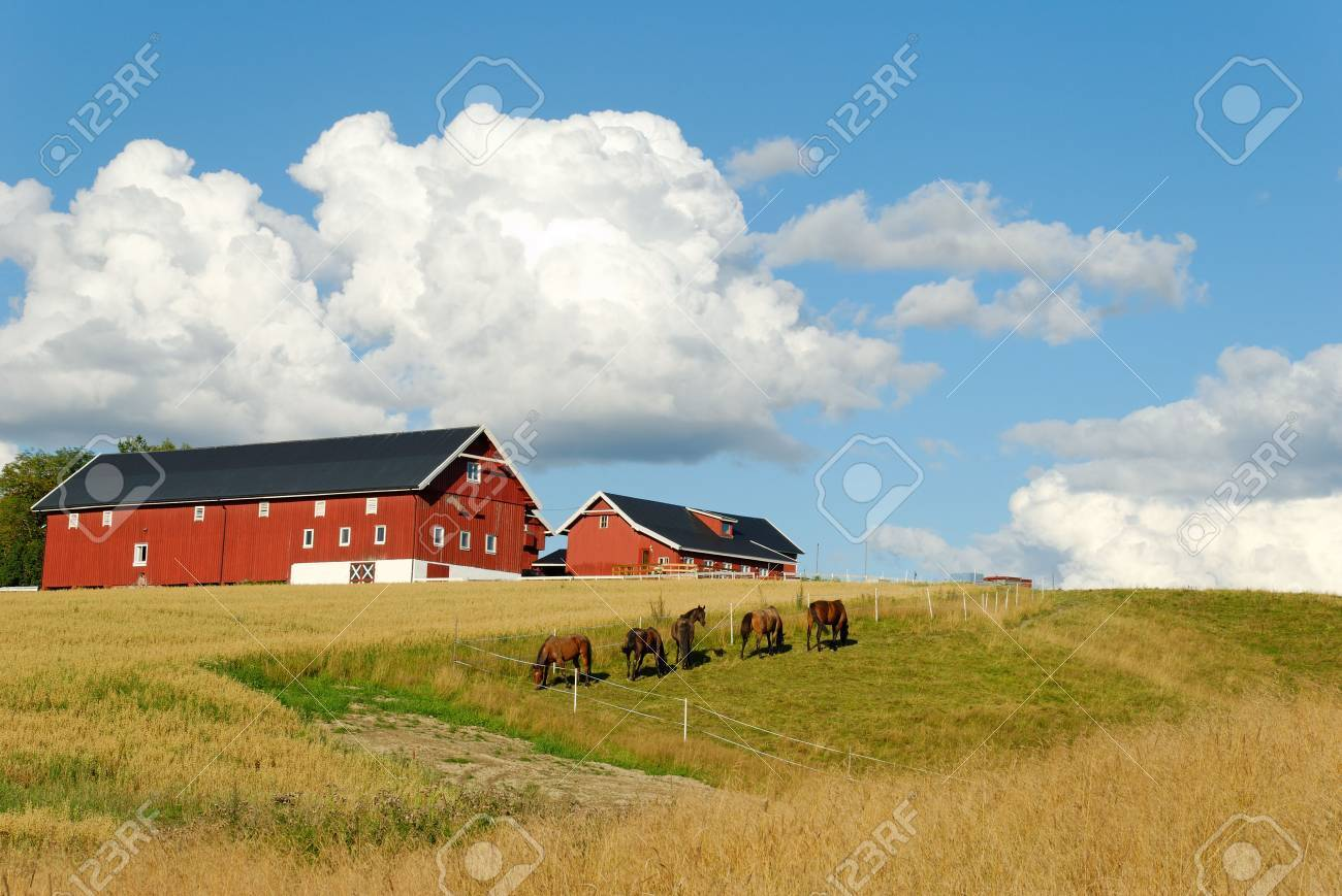 Five horses, grazing in a fold by a farm with an oats field. Nice fluffy clouds above. Stock Photo - 3478050