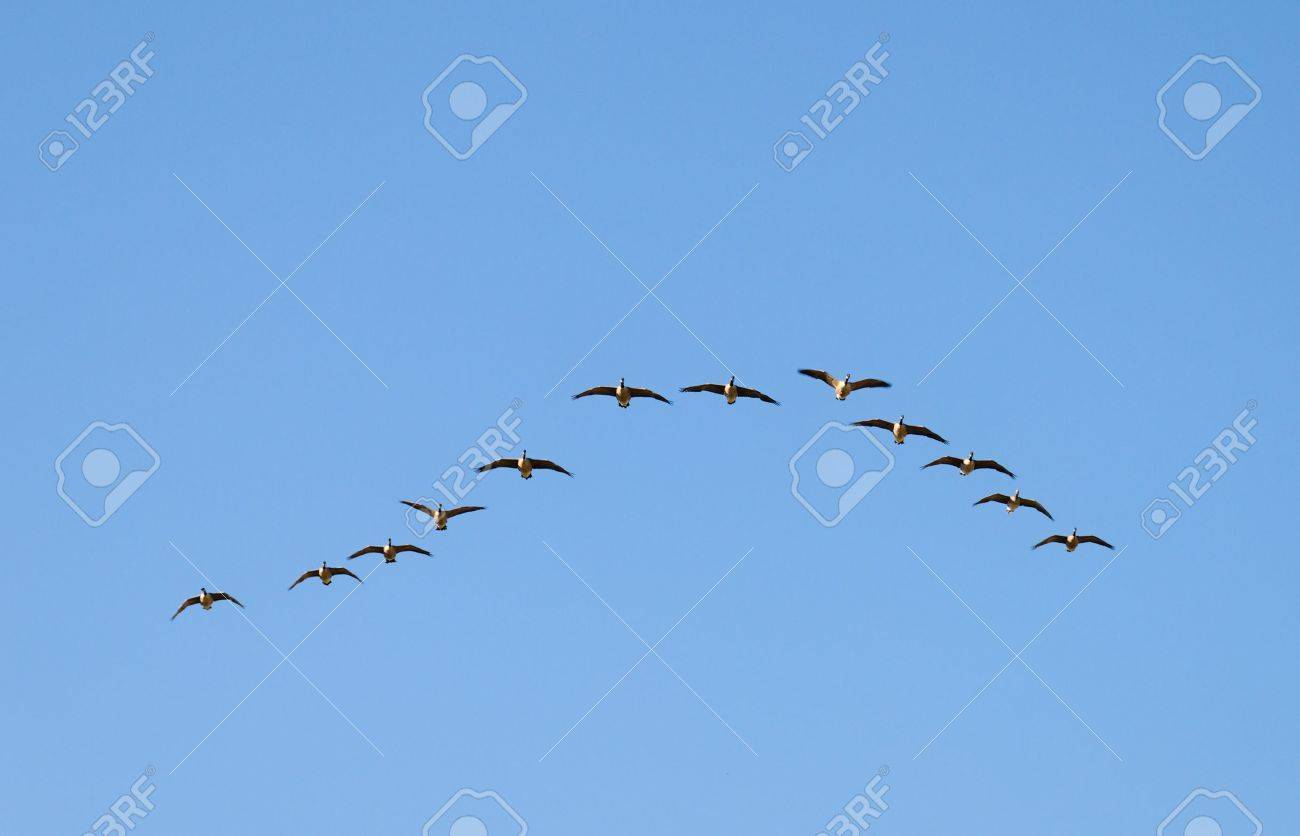 The wedge-like flock of Canadian Geese in flight. Stock Photo - 3496928