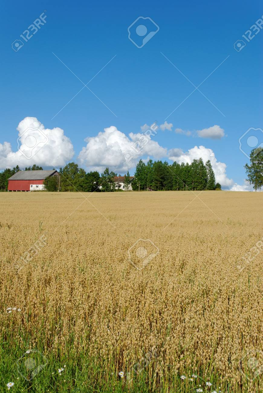 Vertical image of an oats field with a farm and cloudscape. Stock Photo - 3496929