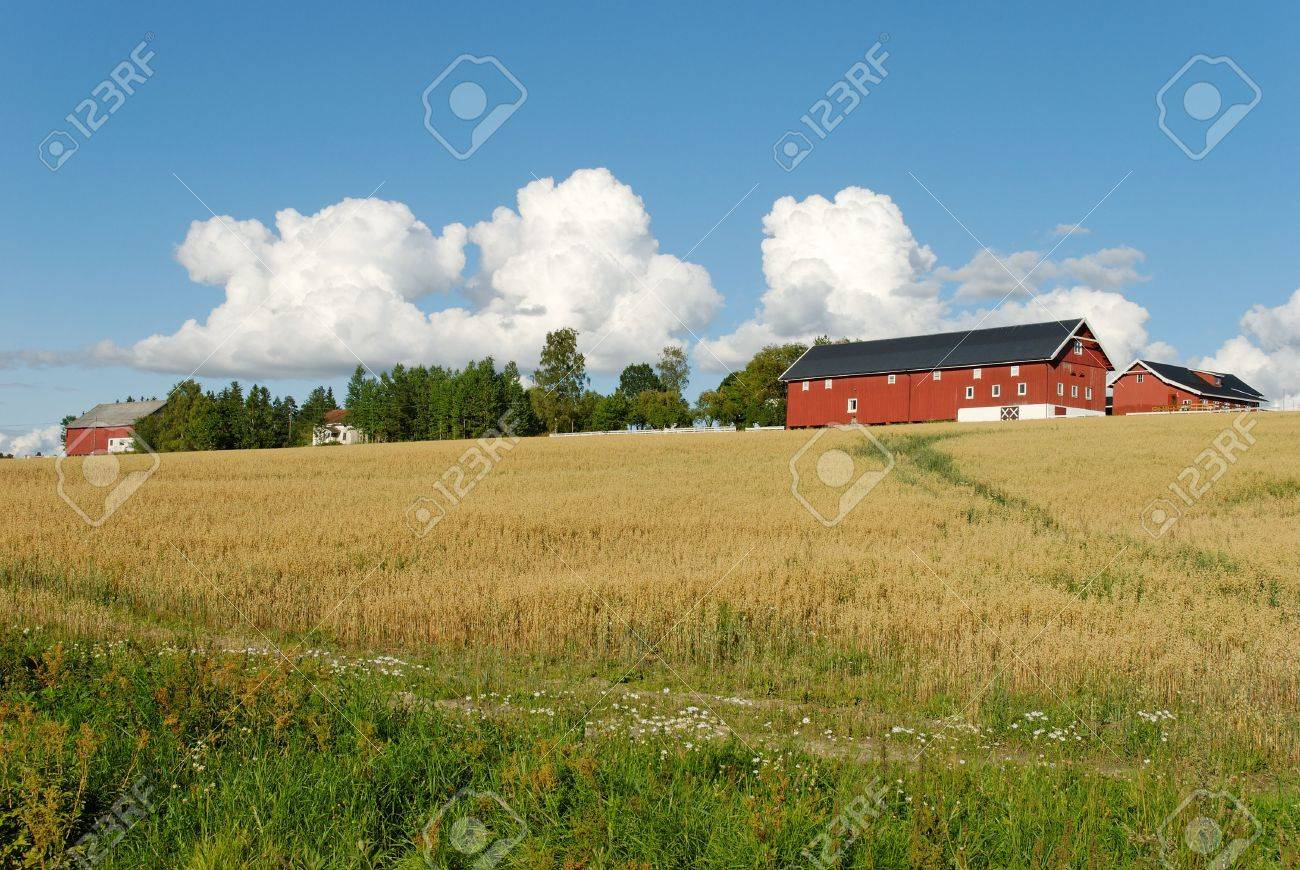 A Norwegian farm on a hill above an oats field with puffy clouds in the sky. Stock Photo - 3496533